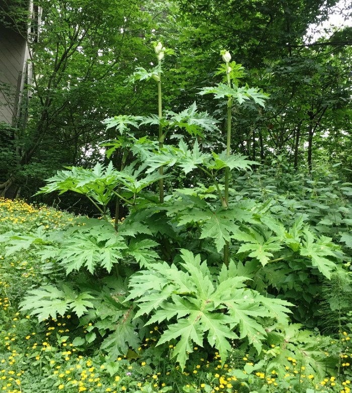 Giant Hog Weed Giant Hogweed – June 2016 Weed Of The Month – Noxious