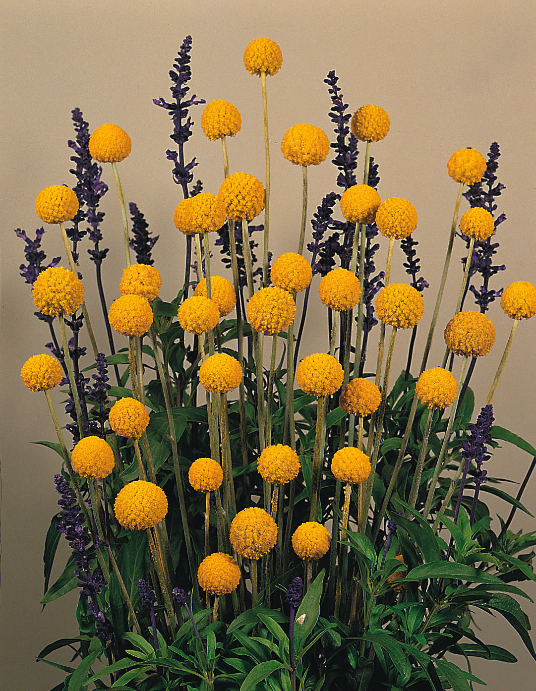 Tagetes Blume Craspedia Globosa 'drumstick' | Craspedia Seeds | Kings Seeds