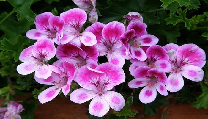 ジューンブライド 花 ぺラルゴニウム