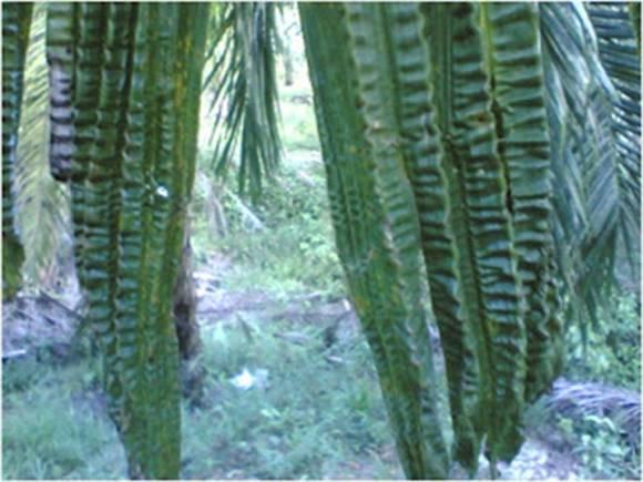 Fungsi Pupuk Borax Pada Tanaman Kelapa Sawit