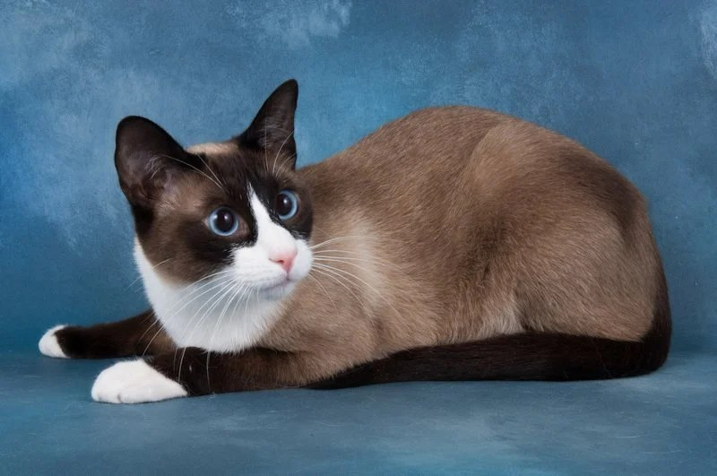 Cute White Kittens With Blue Eyes Wallpaper 10 Things You Should Know About The Snowshoe Cat