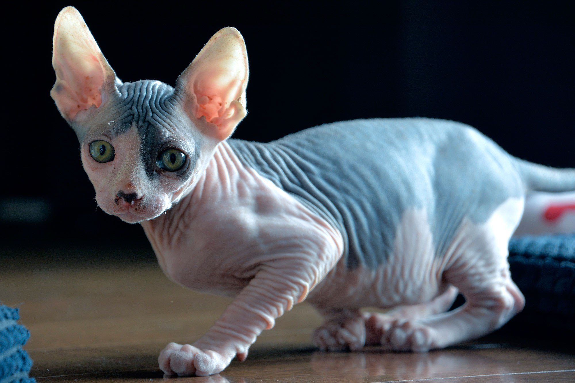 Sfinx Kat 20 Fun Facts You Didn 39t Know About Sphynx Cats