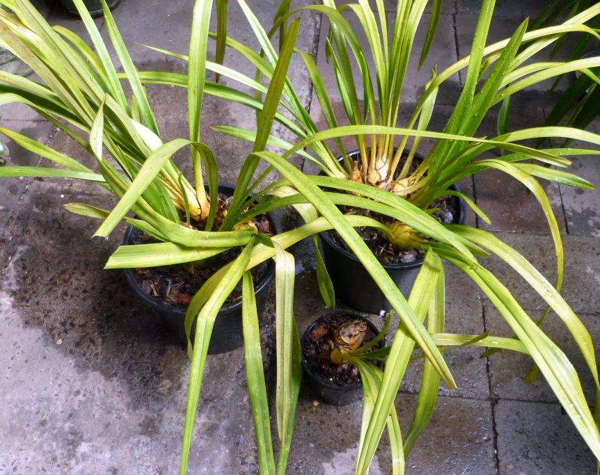 Dividing And Repotting Cymbidium Orchid | Kiyanti2008'S Weblog