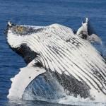 A baleen whale breaches. Michael Dawes/flickr