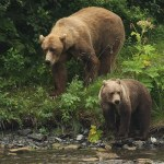 Two bears on Kodiak scout for salmon. Photo by Lisa Hupp/U.S. Fish and Wildlife Service