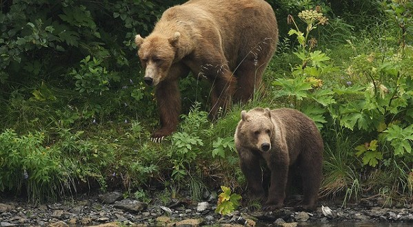 Bear Population Numbers in Southwest Kodiak Improving After Decline