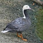 Emperor Goose. Photo Sandy Cole Wikimedia Commons