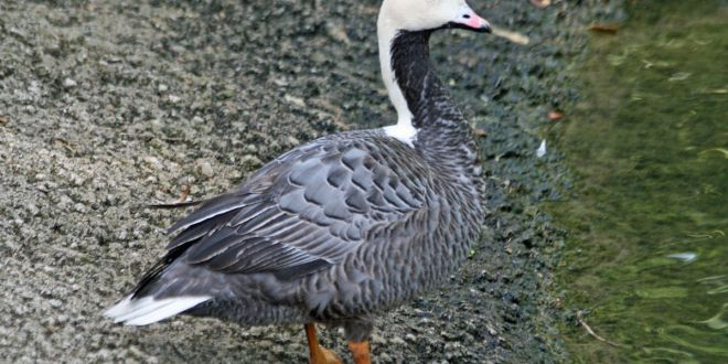 Migratory Bird Managers OK Two Hunts per Year for Emperor Geese in Alaska