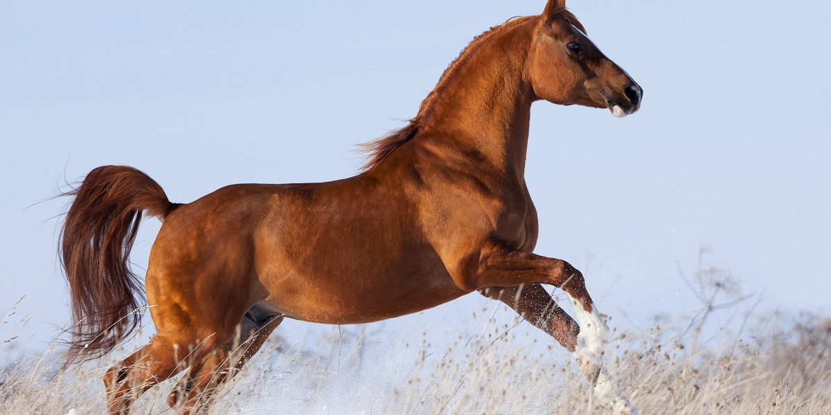 difference between sorrel chestnut and red roan horses