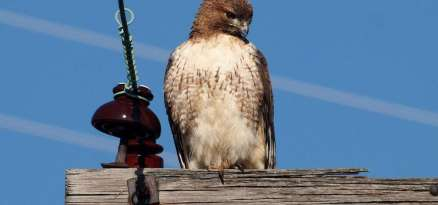 1280px-Red-tailed_Hawk-27527-2