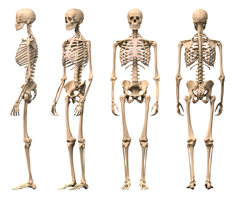 Male Human skeleton, four views, front, back, side and perspective. Scientifically correct, photorealistic 3-D rendering.