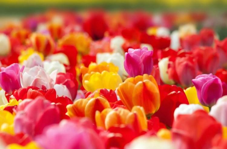 tulip-1375724