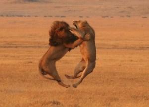 ライオン画像2013.11.30