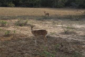 Safari in Wilpattu park