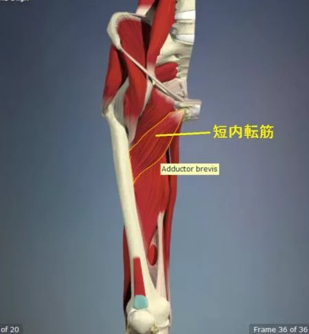 短内転筋の解剖