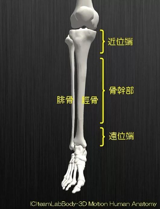 脛骨と腓骨の解剖を図を用いて分かりやすく解説します4
