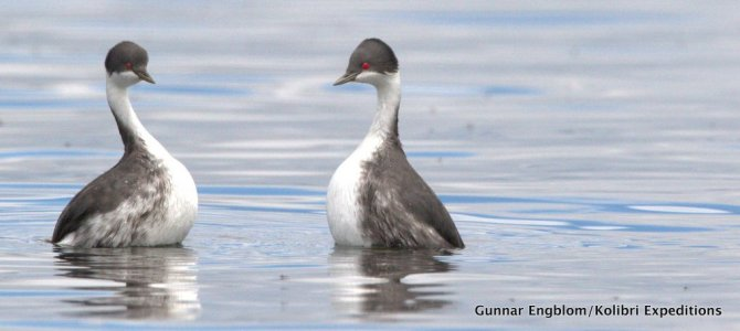 The Junin Grebe may go extinct and we did not even notice.
