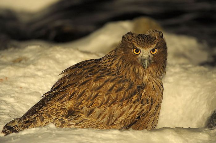 One of the largest Owls in the world can be seen at a feeding station in Hokkaido. Photo: Robert tdc