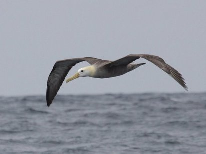 Waved-Albatross-Phoebastria-irrorata-Pelagic-Sep-9-2010-066
