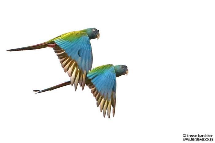 Blue-headed Macaw (c) Trevor Hardaker