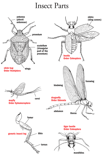 insect identification diagram