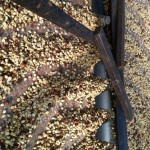 Peaberry drying before roasted