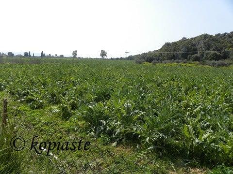 Artichoke Fields at Candia