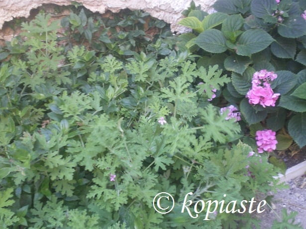 Geraniums in our back yard