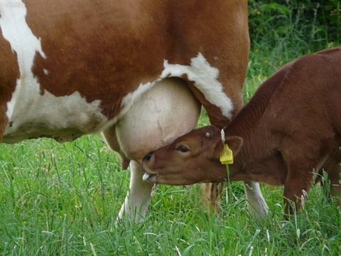 cow-56040_640