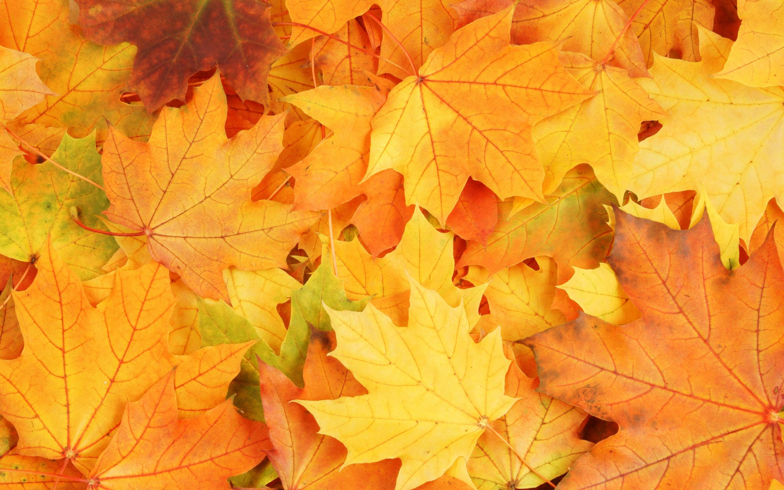 Iphone 6s Wallpaper Fall 배경 화면 가을 시즌 노란색 단풍은 바닥에 떨어지지 2560x1600 Hd 그림 이미지