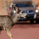 deer on road 300