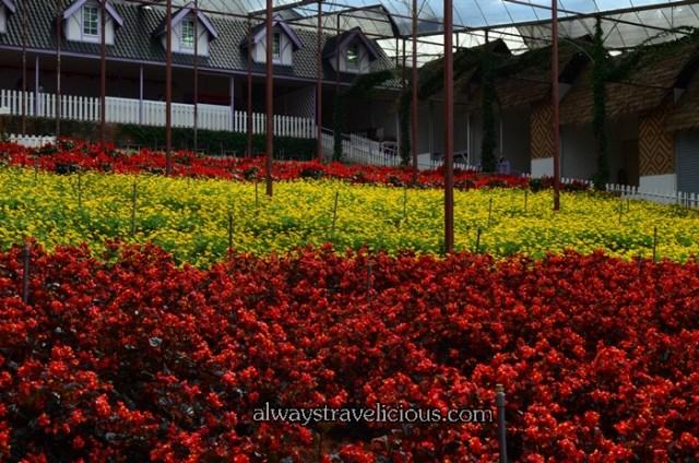 lavender garden @ Cameron highlands 41
