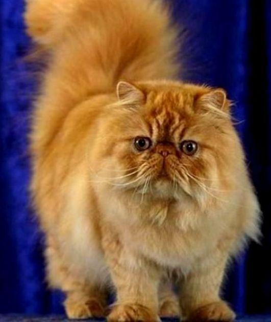 kucing-persia-persian-a.jpg