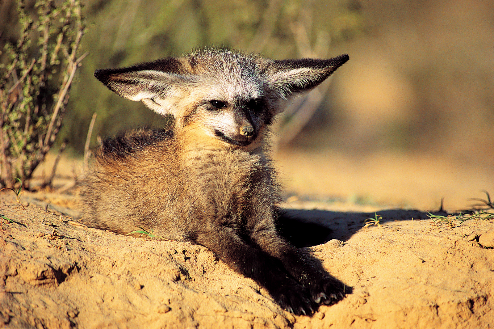 Sweet And Cute Wallpaper Bat Eared Fox Metazoa