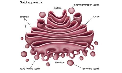 diagram golgi apparatus structure diagram