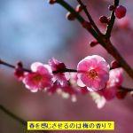 春を感じさせる花は桜ではなくて甘くて爽やかな梅の香り?花言葉は?