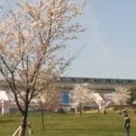 舎人公園桜の開花状況や千本桜まつりの開催日イベント花火の開催は?
