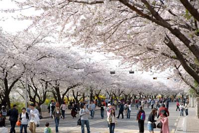 musim-semi-korea