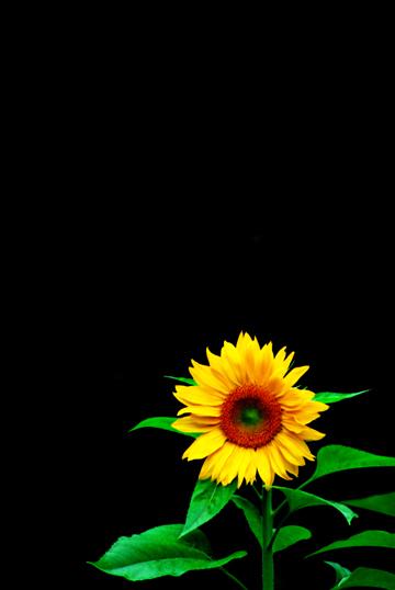 Single Hd Wallpaper Photography Of Kurt Shaffer Photographs Flowers On Black