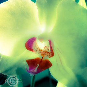 Orchid_Glow