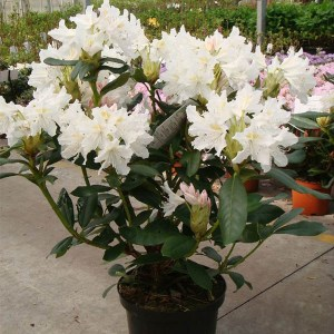 rhododendron cunningham white 2