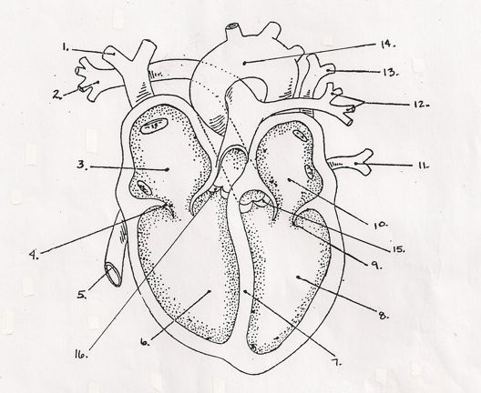 heart diagram 745 heart diagram