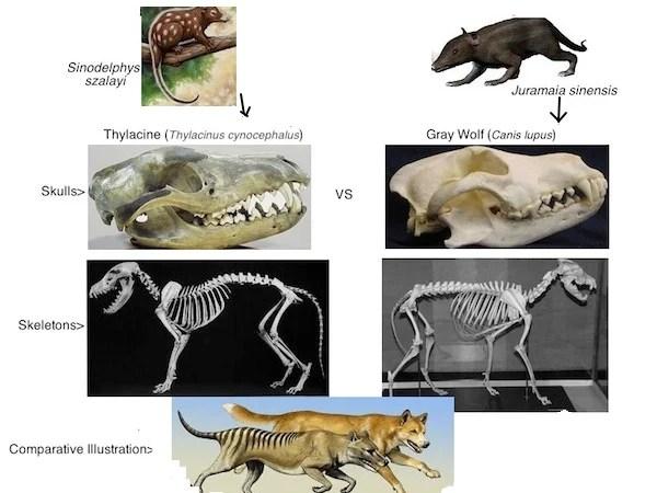 http://i0.wp.com/kyletaitt.scienceblog.com/files/2013/01/Thylacine-vs-Wolf21.jpg?resize=600%2C450