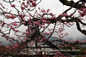 Plum blossoms and temple
