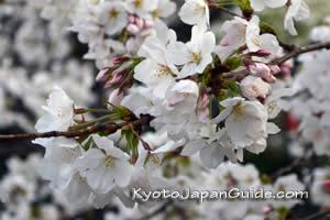White sakura branch