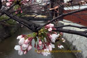 Gion Stream and Sakura 003