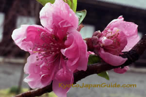Pink Blossom at Temple 009