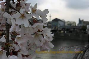 Riverside Sakura 029