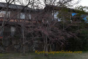 Sakura along River 030
