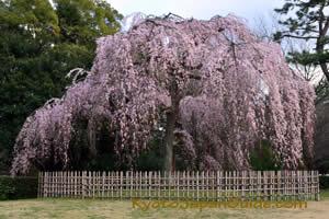 Weeping Sakura 003